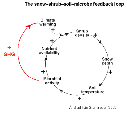 The snow–shrub–soil–microbe feedback loop