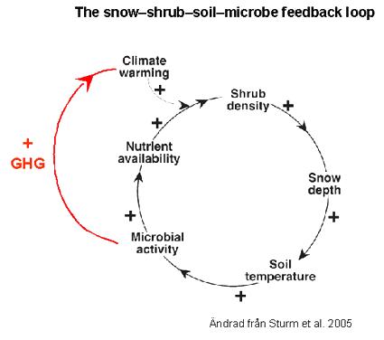 The snow–shrub–soil–microbe feedback loop